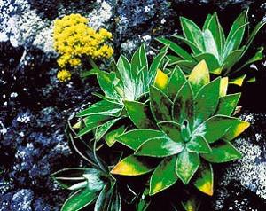 La Robinsonia saxatilis fue descubierta en 1999, en la Quebrada Corrales de Molina. Foto:ROBINSONIA/DANTON Y PERRIER